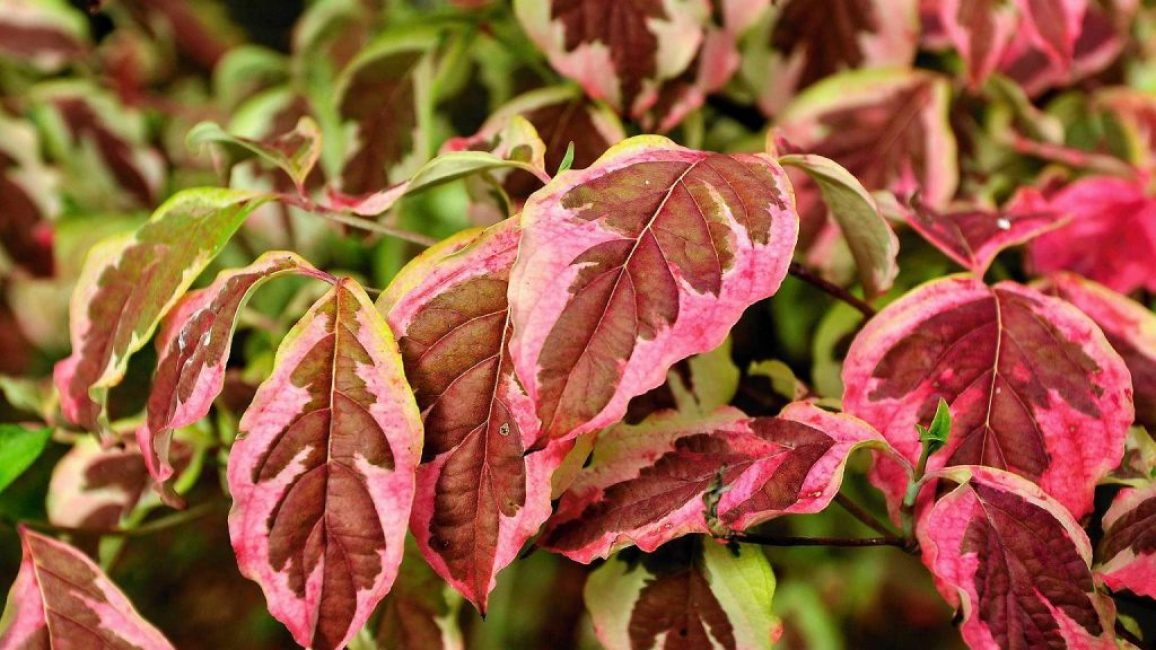 Дерен красный с листьями яйцевидной формы