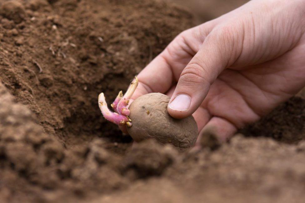 Есть несколько способов внесения суперфосфата в почву перед посадкой картофеля