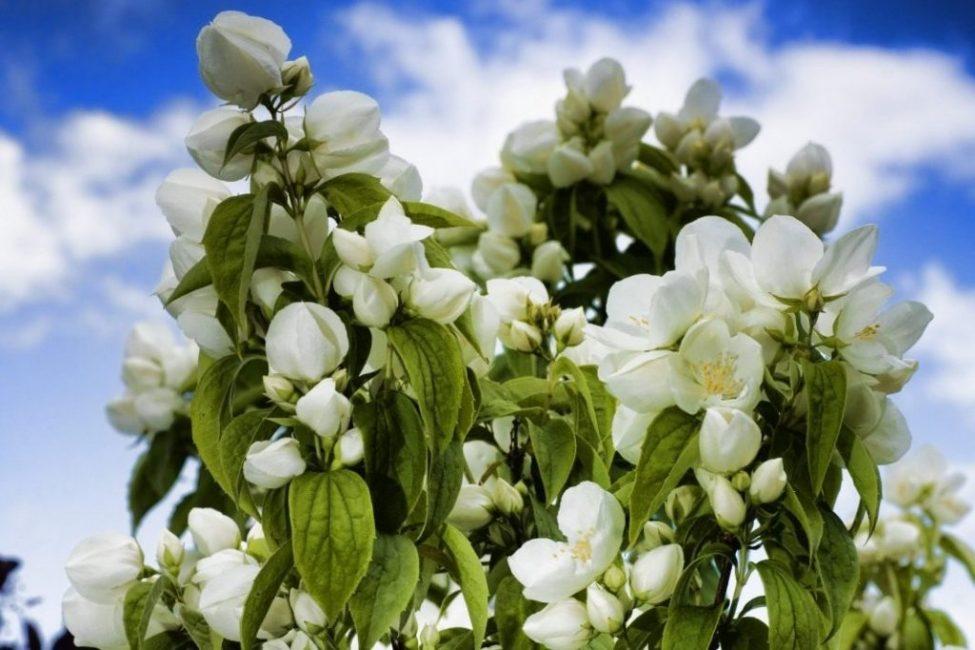 Жасмин в период активного цветения