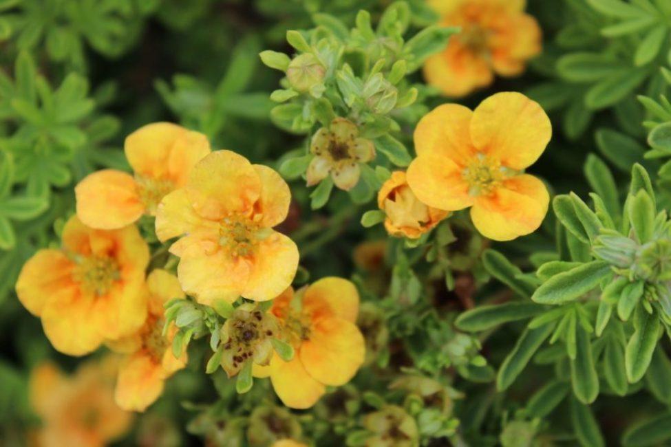 Растение с цветками желтого цвета
