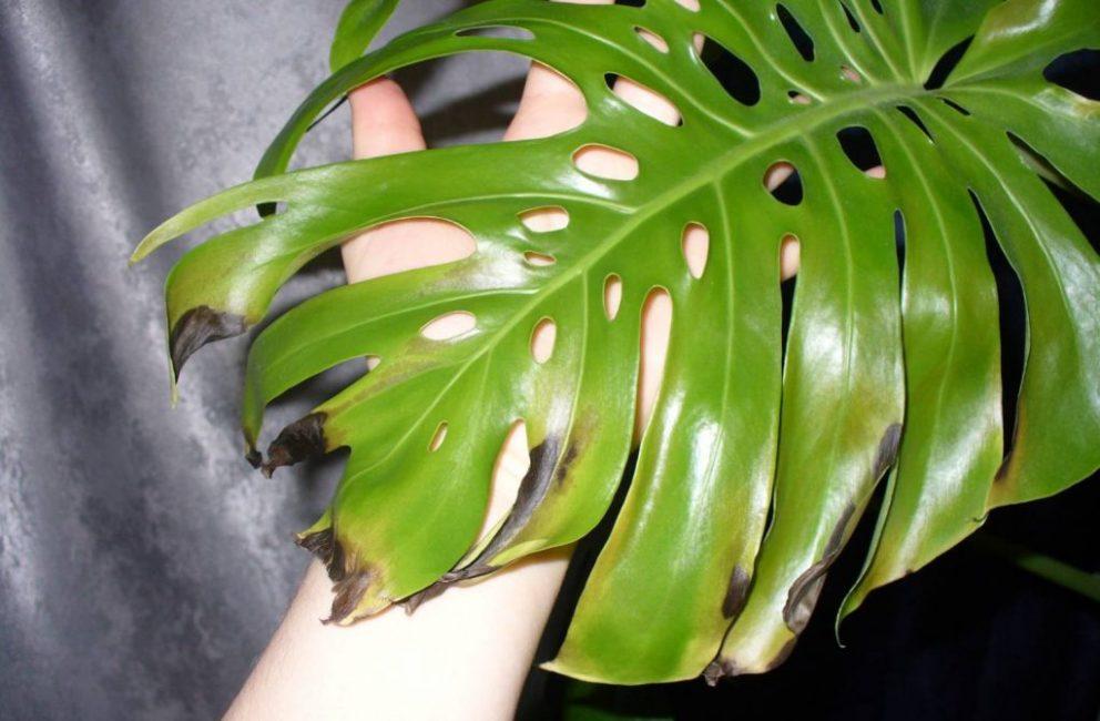 Болеющие листья растения