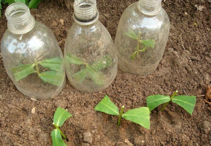 Защита черенков флоксов при помощи пластиковых бутылок