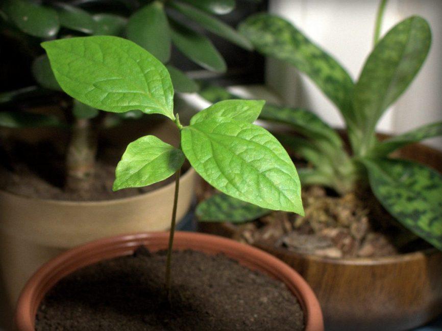 Зимой поливать чишковое дерево не нужно, однако не следует допускать и полного засыхания почвы