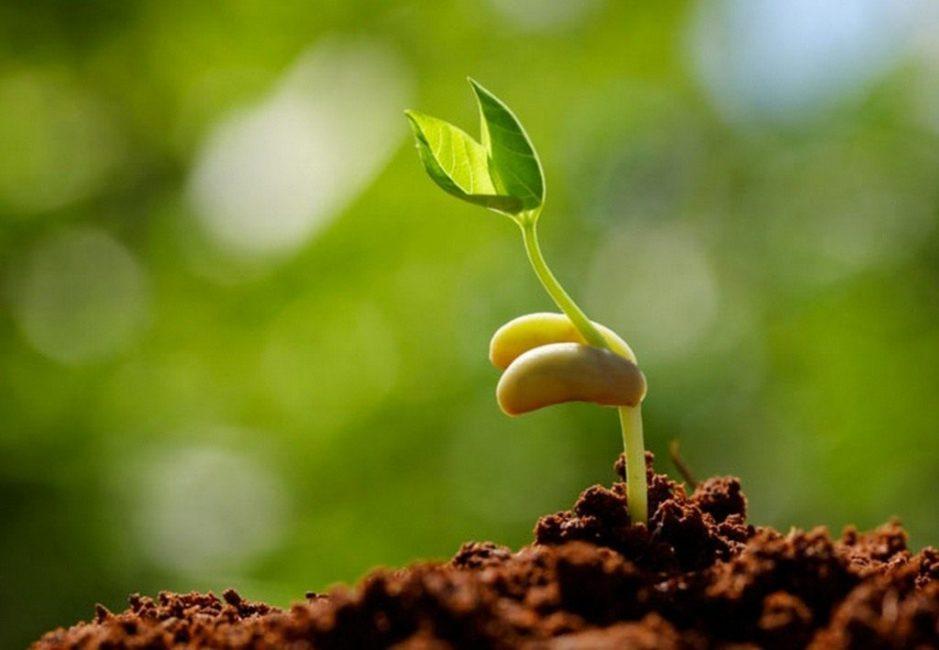Из стратифицированного материала получаются крепкие ростки