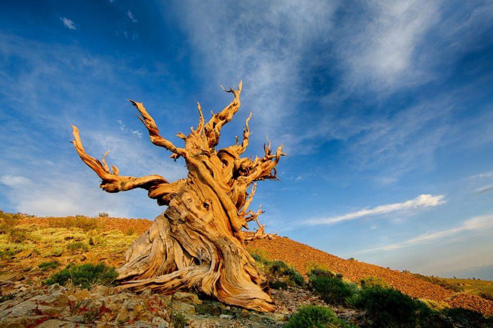 Калифорнийский долгожитель