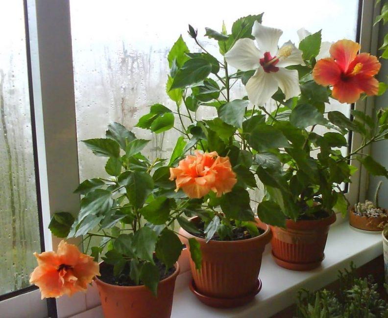 Китайская роза в условиях квартирного выращивания