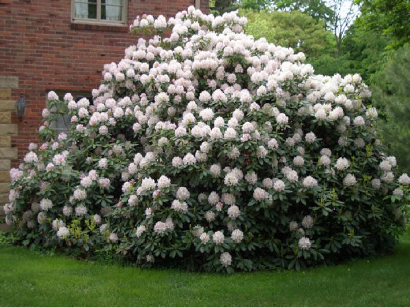 Крупные сорта азалий вырастают свыше трех метров в высоту и ширину