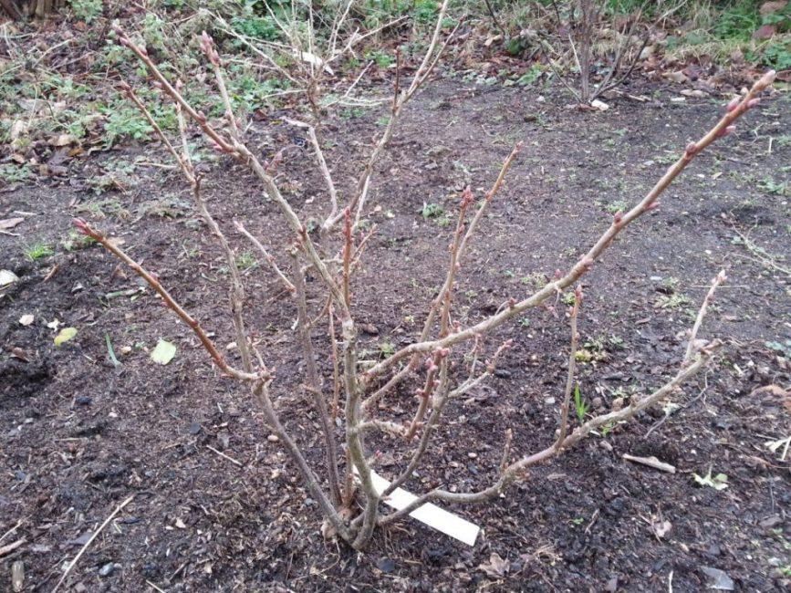 Куст чёрной смородины ранней весной. Видны старые и молодые побеги