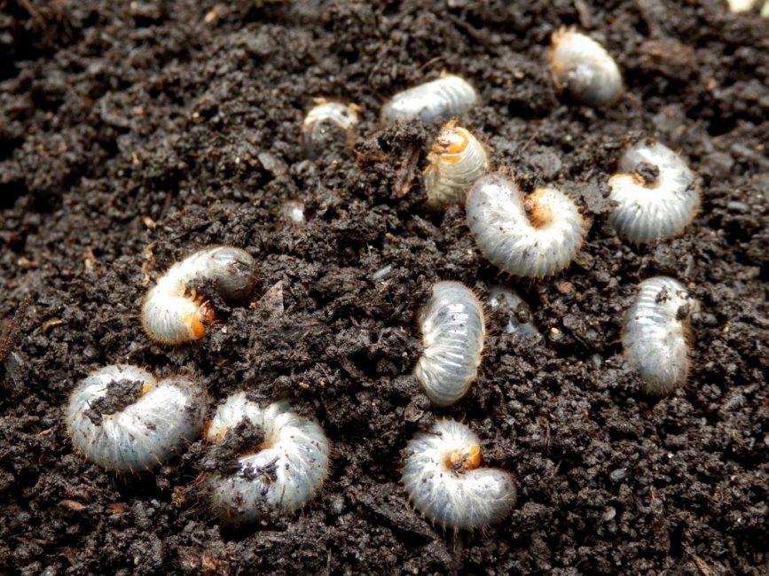 Личинки майских жуков извлечены из земли во время перекапывания почвы и подготовки к посадке дерена