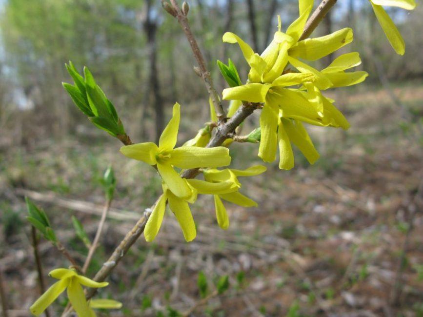 Лучшее время для приобретения растения – ранняя весна