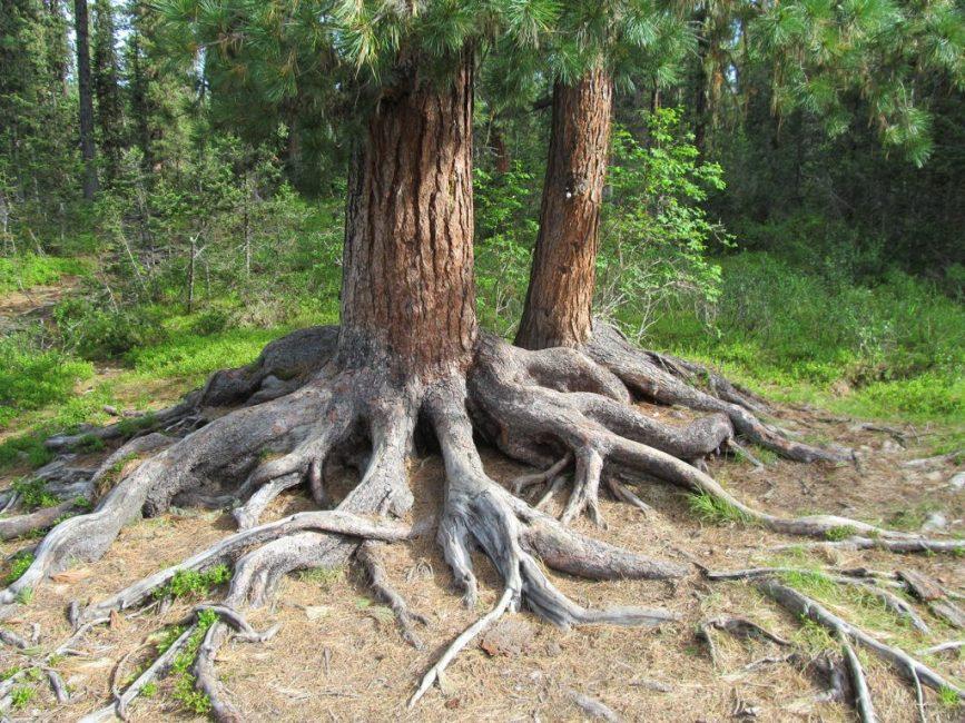 Могучие корни
