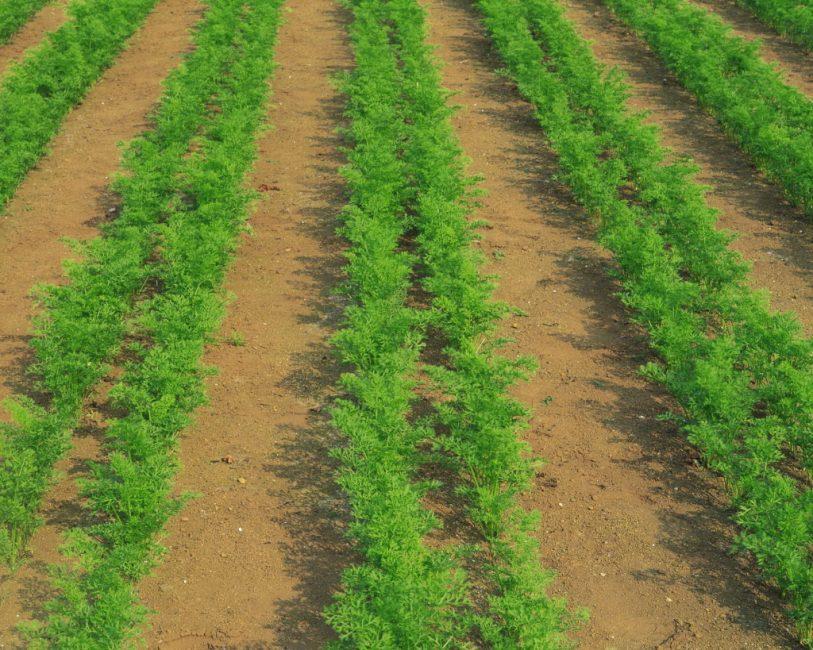 Морковь, высаженная рядами