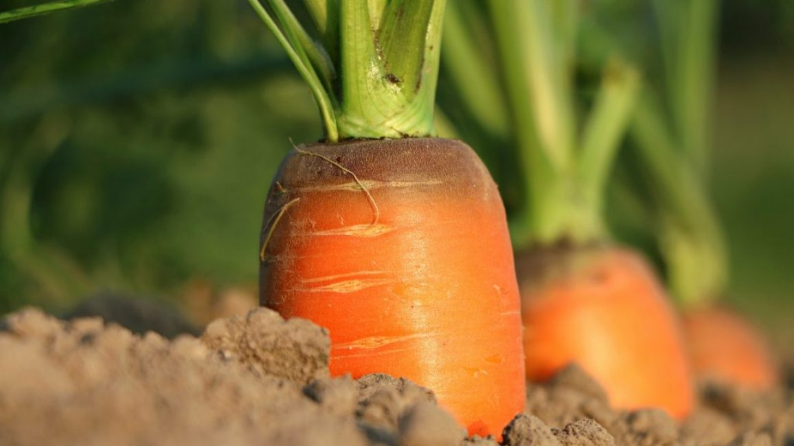 Морковь в грунте