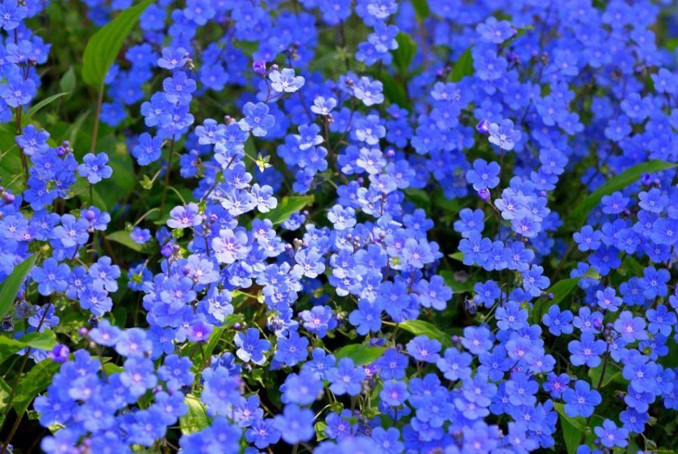 Нежно-голубые незабудки