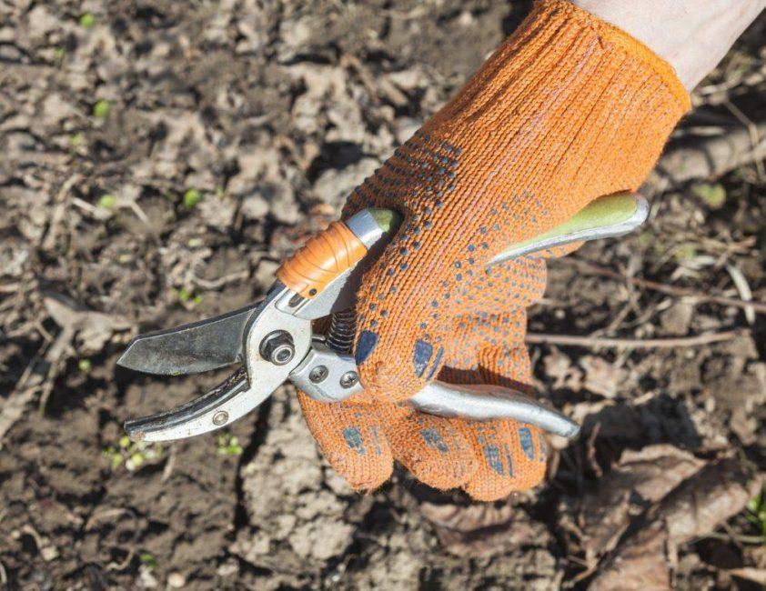 Обрезают кустарники острым ножом, секатором или лезвием