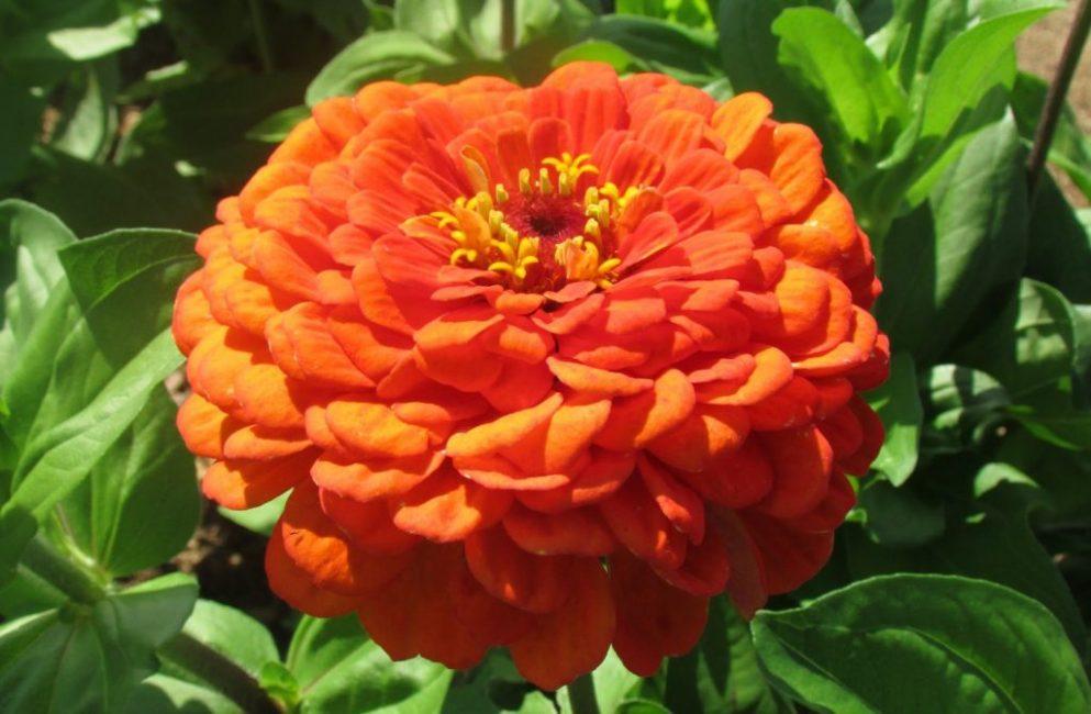 Оранжевый король