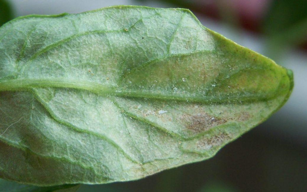 Паутинный клещ на листе гибискуса