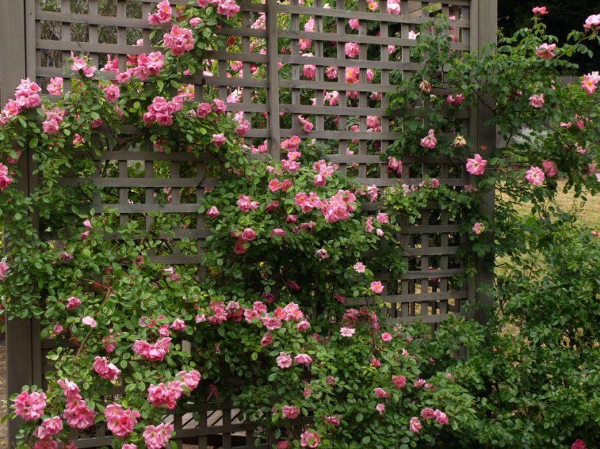 Изгородь из плестистых роз