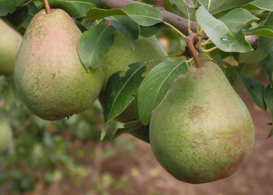 Плоды поздних сортов хранятся очень долго