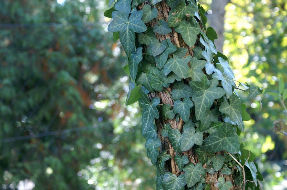 Плющ обыкновенный обвивает дерево