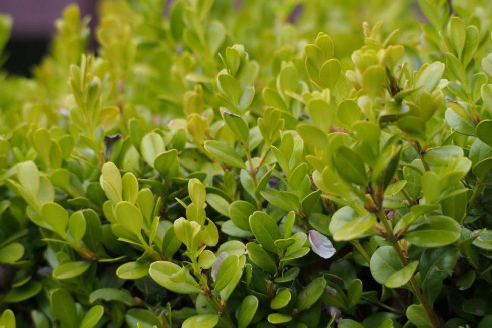 Подготовку растения к зиме начинают с обильного полива