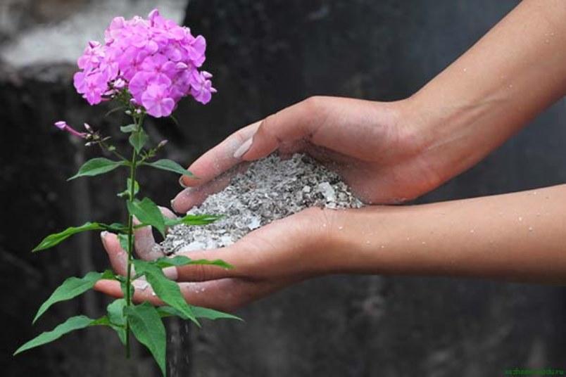 Подкормка флоксов при бутонизации и цветении древесной золой