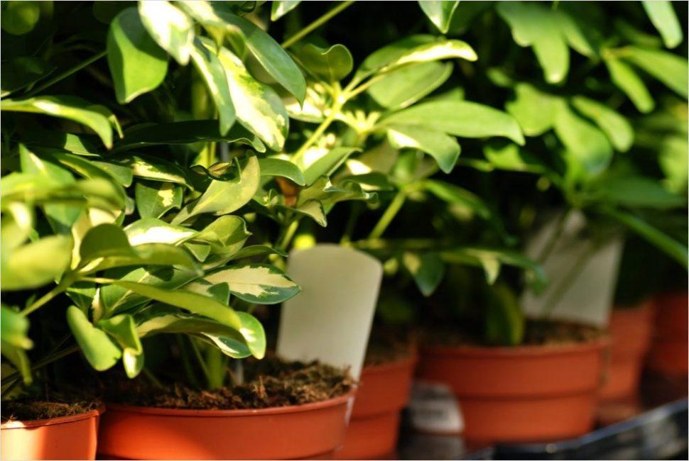 Покупая шеффлеру в магазине нужно как следует осмотреть растение