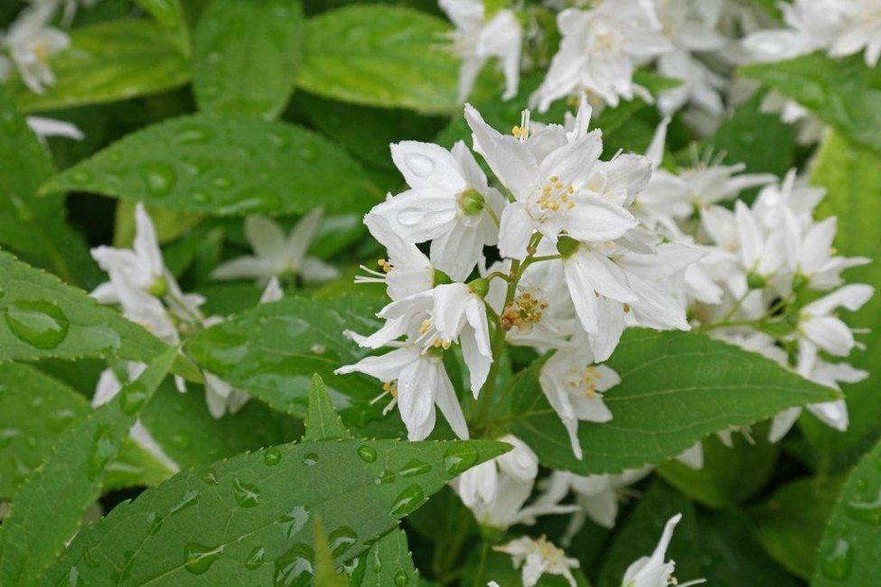 Полив растения прекращают в августе для вызревания древесины