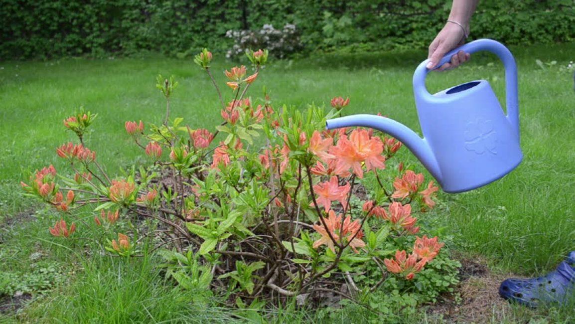 Чрезмерный полив вредит растению