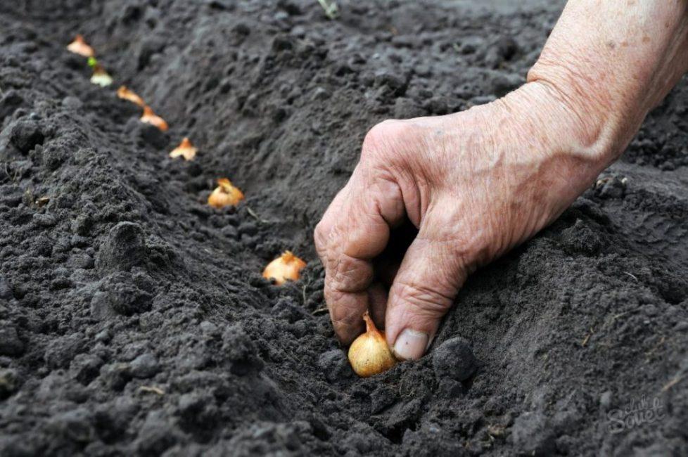 Посадка лука в подготовленную почву
