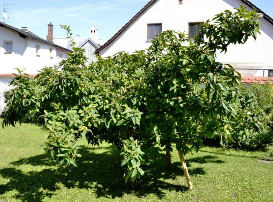 Правильный выбор места для высадки дерева – залог обильного урожая эриоботрии