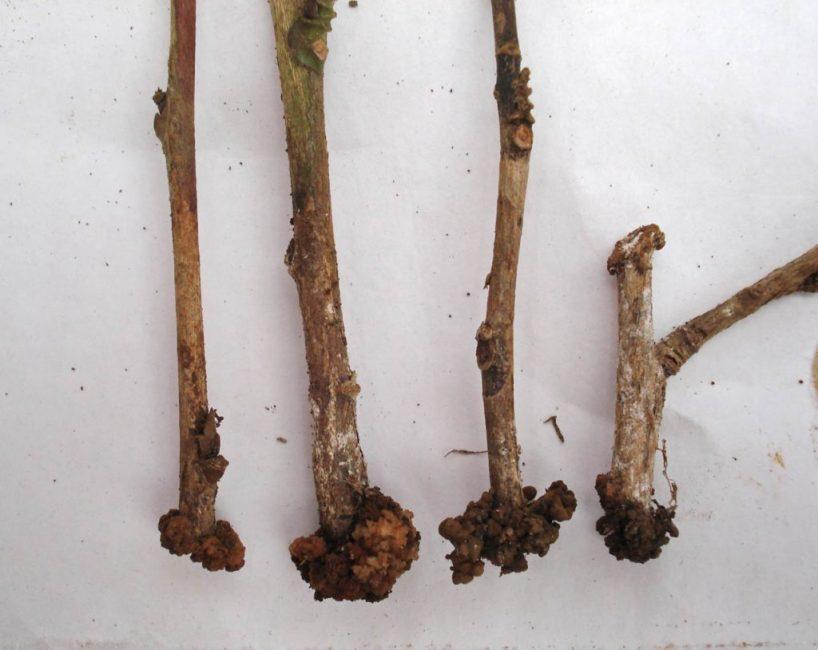 Примерно такой вид имеют черенки растений, когда на них начинают образовываться корни