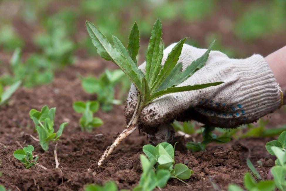 Сорняки нужно удалять регулярно
