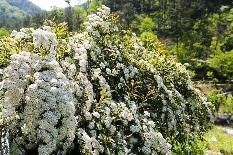 Пышное и обильное цветение куста