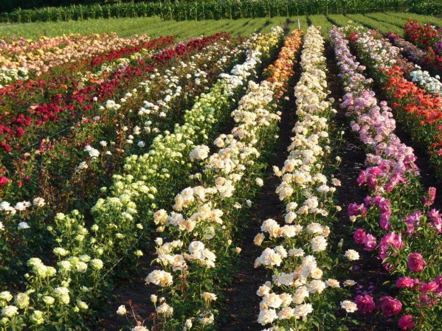 Разновидности цветов роз