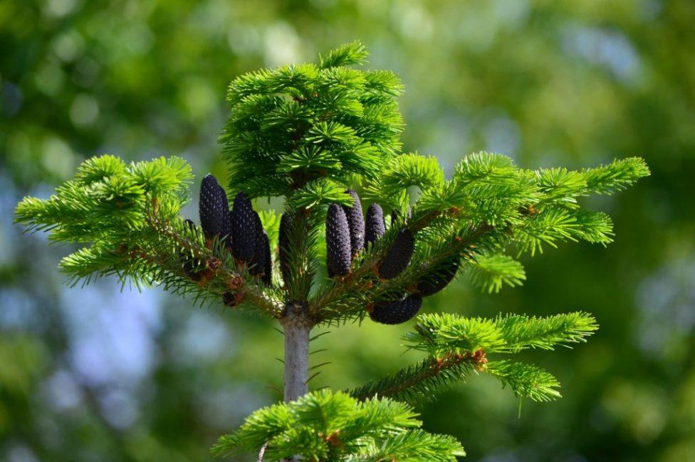В декоративном садоводстве используется около 10 видов растения