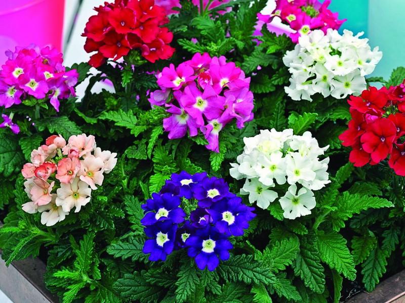 Разные цвета соцветий гибридной формы растения
