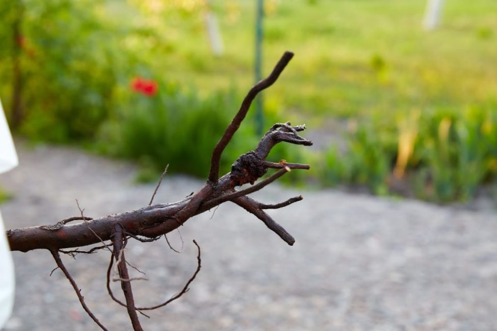Рак корня дерева