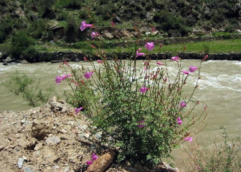 Растение может расти на каменистых почвах