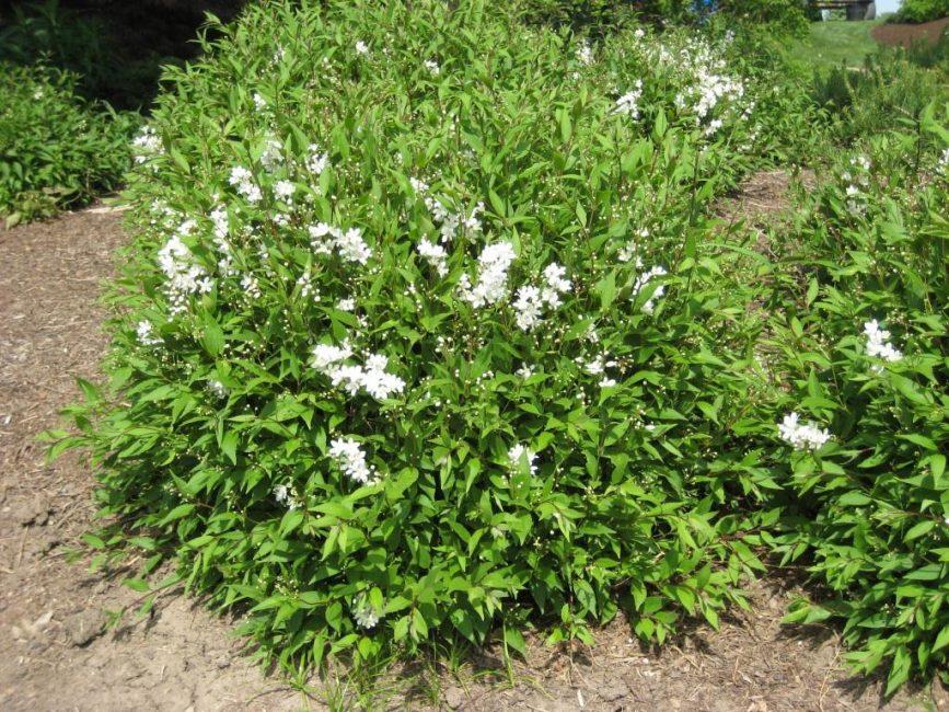 Растение хорошо приживается в открытом грунте в средней полосе России