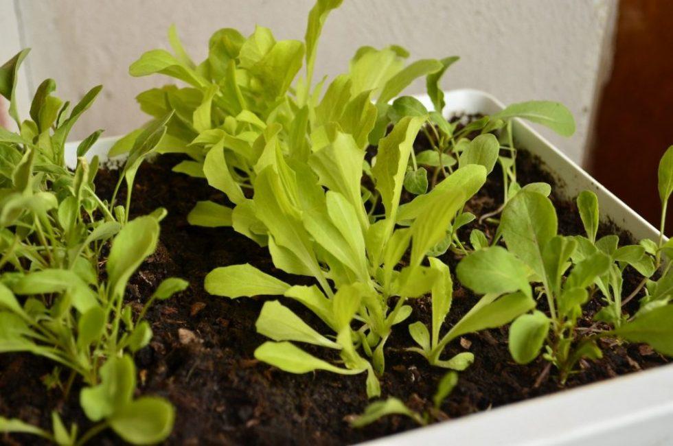 Выращивание рукколы в домашних условиях