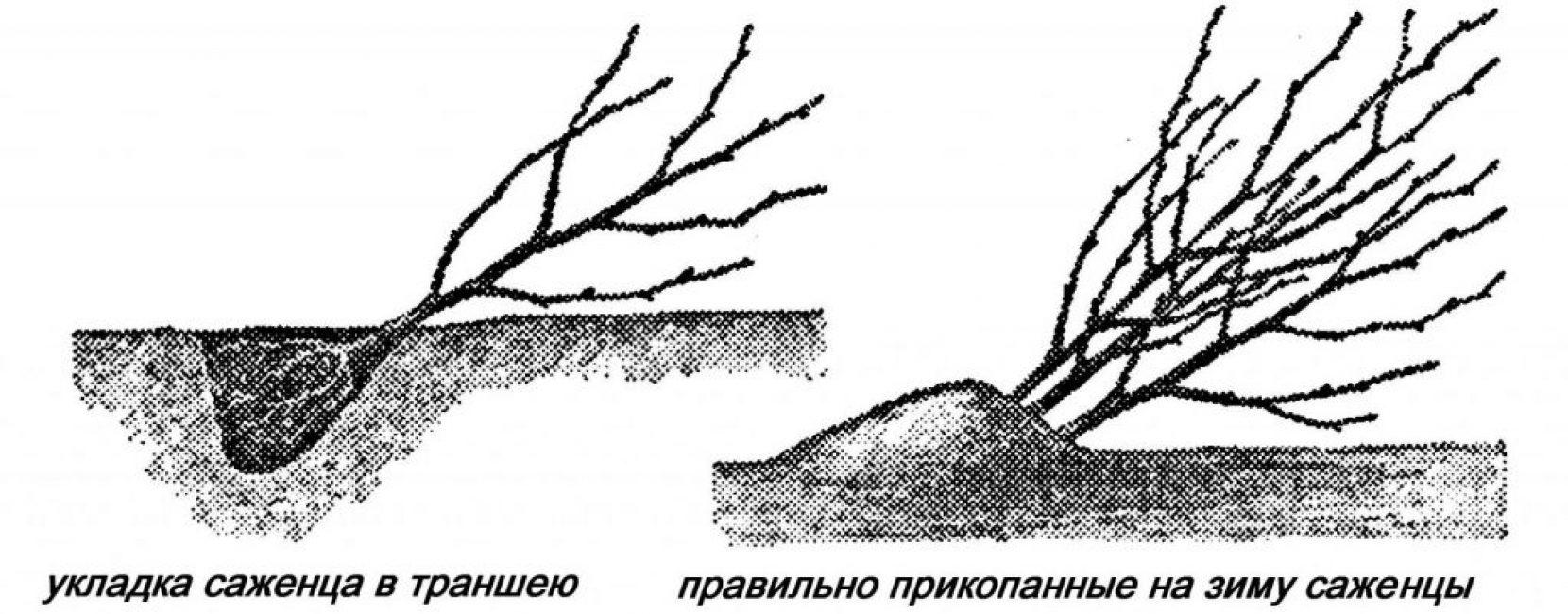 Саженец, помещенный на зиму в траншею