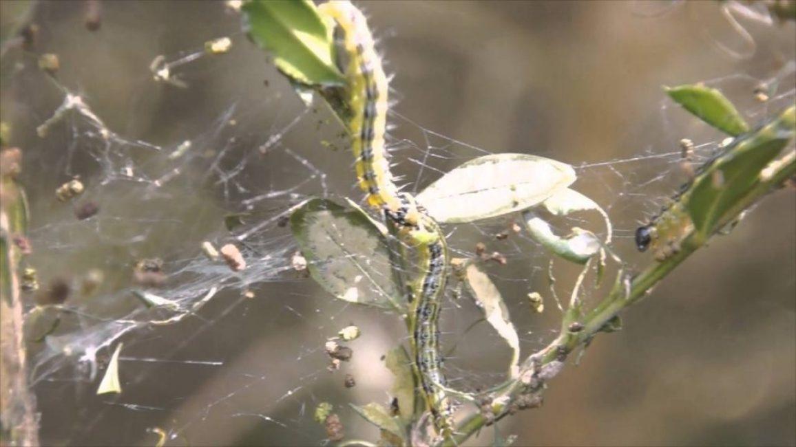Самшитовая огнёвка – опасный вредитель, из-за которого растение погибает