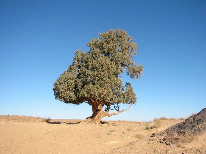 Сахарский кипарис