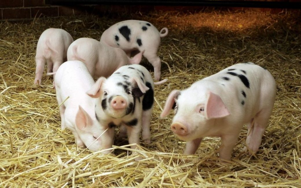 Свиной навоз доставляется чаще всего с подстилкой