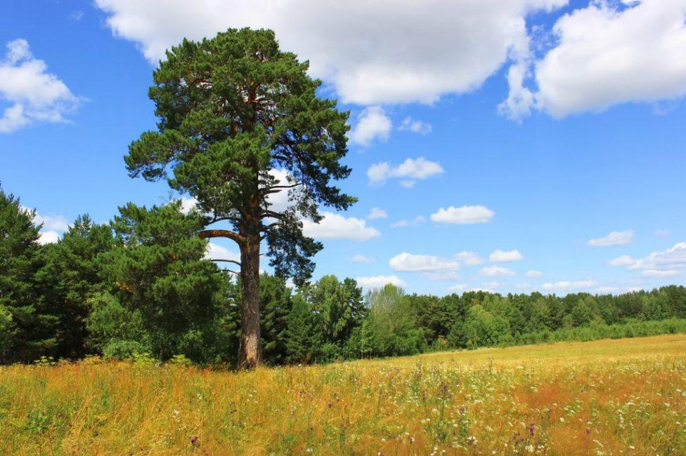 Свободолюбивое дерево
