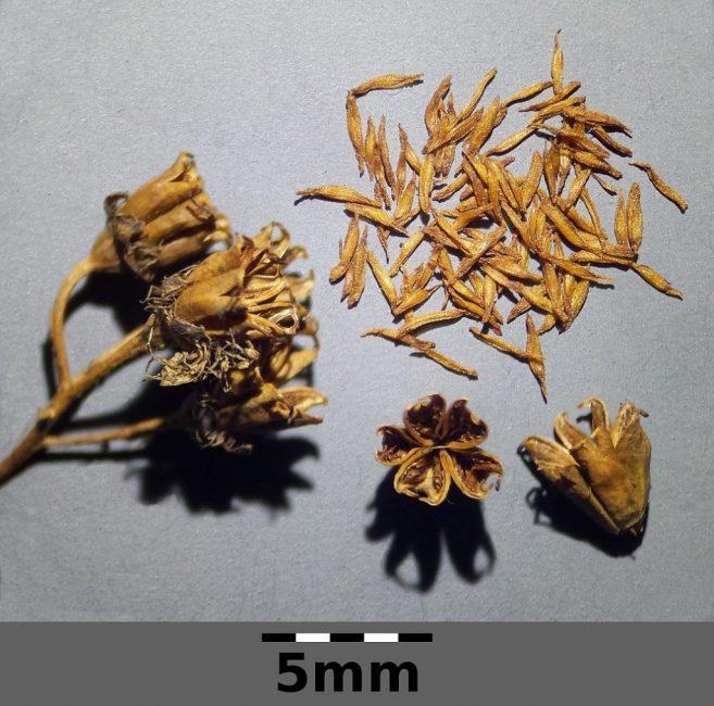 Семена спиреи