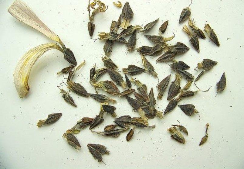 Семена циннии