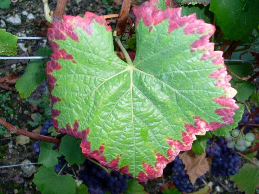 Симптомы нехватки фосфора у растений