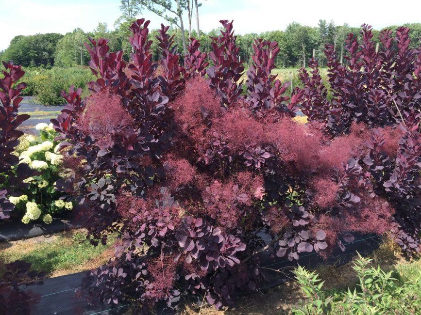 Скумпия капризное растение